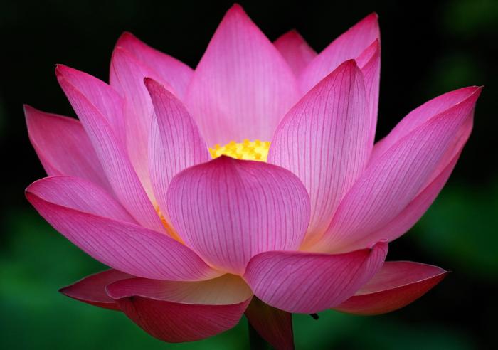 lotusa.png